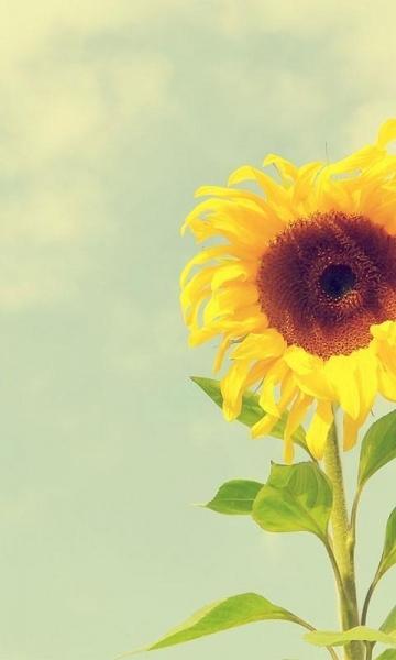 向日葵-3d桌面壁纸